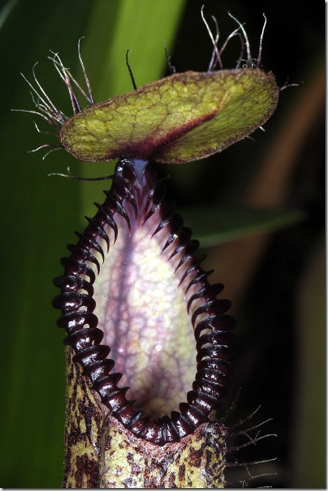 articles_addimg_348_nepenthes_4