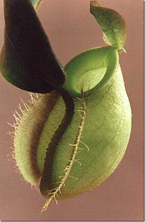 articles_addimg_348_nepenthes_6