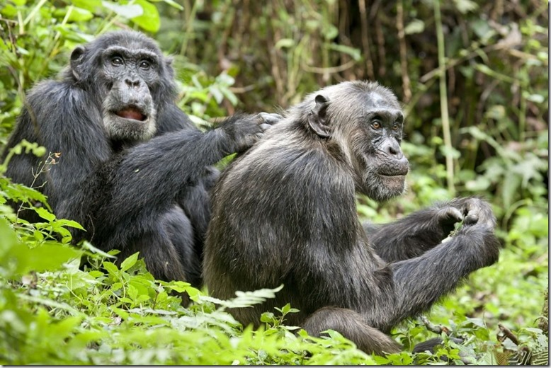 Шимпанзе-13